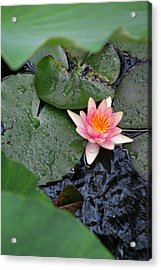 Lily Pad II Acrylic Print by Suzanne Fenster