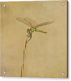 Lime Green Dragonfly Acrylic Print by Paul Grand Image