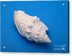 Lime Made From A Seashell Acrylic Print by Ted Kinsman