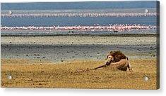 Lion And Flamingos Acrylic Print by Joe Bonita