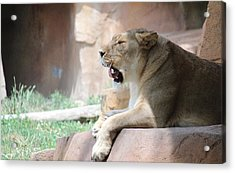 Acrylic Print featuring the photograph Lion At Brookfield Zoo In Chicago Il by Peter Ciro