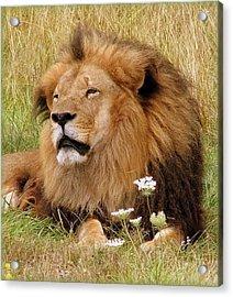 Lion Bouquet Acrylic Print by Judy Garrett