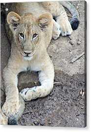Lion Cub Acrylic Print by Becky Lodes