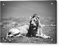 Lion King In Black And White Acrylic Print by Sebastian Musial