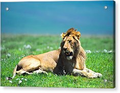 Lion King Acrylic Print by Sebastian Musial