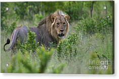Lion On Patrol Acrylic Print