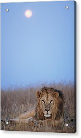 Lion (panthera Leo) Resting In Grass Under Setting Full Moon Acrylic Print by Paul Souders