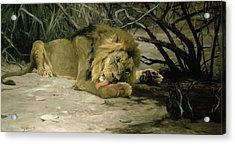 Lion Reclining In A Landscape Acrylic Print by Wilhelm Kuhnert