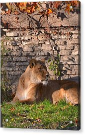 lion Territory Acrylic Print