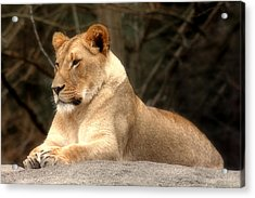 Lioness - Queen Of The Jungle Acrylic Print