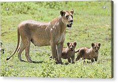 Lioness With Cubs Acrylic Print by Carson Ganci