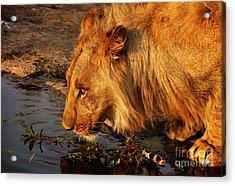 Lion's Pride Acrylic Print by Andrew Paranavitana