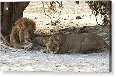 Lions Sleep Acrylic Print