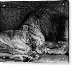 Lions Sleep Tonight Acrylic Print