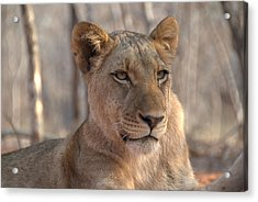 Lions Stare Acrylic Print by Brandon Clay