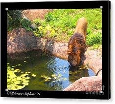 Lion's Terrain Acrylic Print by Rebecca Stephens