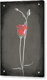Lisianthus Acrylic Print by Fiona Messenger