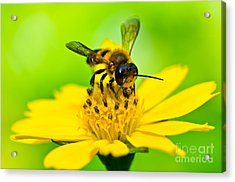 Little Bee In Yellow Flower Acrylic Print by Peerasith Chaisanit