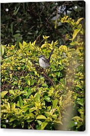 Little Bird Acrylic Print by Coral Dudley