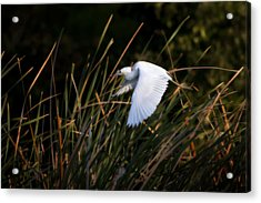 Little Blue Heron Before The Change To Blue Acrylic Print by Steven Sparks