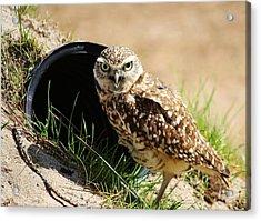 Little Burrowing Owl Acrylic Print by Paulette Thomas