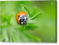 Little Climbing Lady Bug Acrylic Print