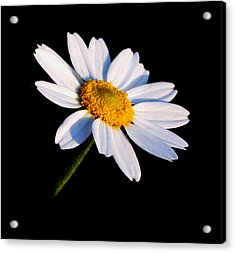 Acrylic Print featuring the photograph Little Daisy by Karen Harrison