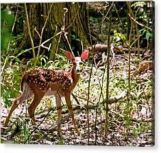 Little Deer Acrylic Print by Bob Niederriter