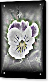 Acrylic Print featuring the photograph Little Pansy by Karen Harrison