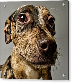 Little Pup Acrylic Print by Square Dog Photography