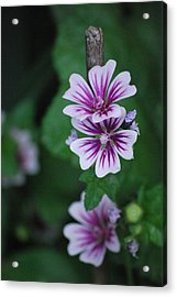 Little Purple Flowers Acrylic Print by Amee Cave