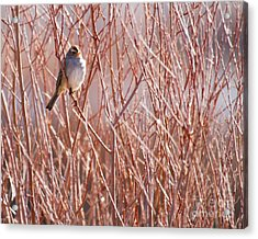 Little Sparrow Acrylic Print by Sabrina L Ryan