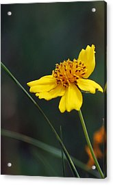 Little Yellow Acrylic Print by Amee Cave