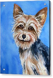 Little Yorkie Acrylic Print by Cherilynn Wood