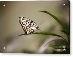 Little Zebra Acrylic Print by Leslie Leda