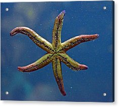 Live Starfish Acrylic Print by Sandi OReilly