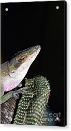 Acrylic Print featuring the photograph Lizard by Ester  Rogers