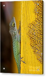 Lizard Acrylic Print by Sophie Vigneault