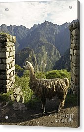 Llama On The Inca Trail Acrylic Print by Darcy Michaelchuk