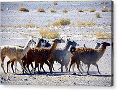Llamas  Atacama Desert Acrylic Print by Sandra Lira