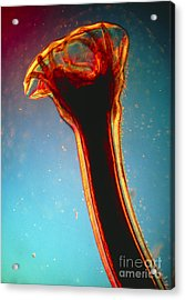 Lm Of Posterior End Of Hookworm Acrylic Print by Eric Grave