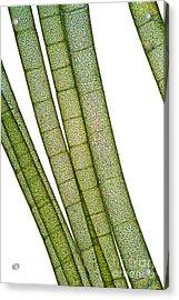 Lm Of Tubular Algae Acrylic Print by Raul Gonzalez Perez