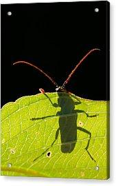 Locust Borer Acrylic Print by Mircea Costina Photography