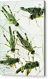 Locusts Acrylic Print by David Aubrey