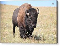 Lone Bull Buffalo Acrylic Print