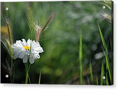 Acrylic Print featuring the photograph Lone Daisy by Amee Cave