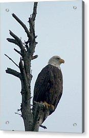 Lone Eagle Acrylic Print