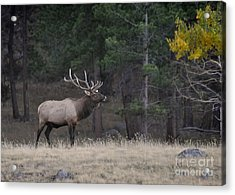 Acrylic Print featuring the photograph Lone Elk Warrior by Nava Thompson