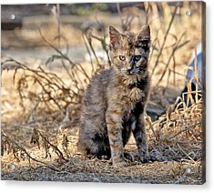 Acrylic Print featuring the photograph Lone Feral Kitten by Chriss Pagani
