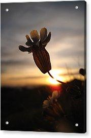 Lone Flower Acrylic Print by Victoria Hillman